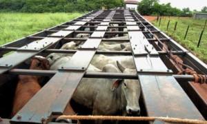 transporte-gado