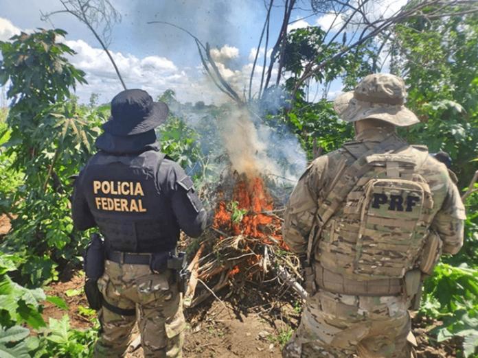 Operação erradica 500 mil pés de maconha em Pernambuco – Interior da Bahia